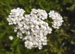 Yarrow Blue Essential Oil Flower