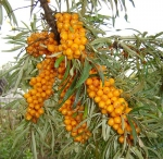 Sea Buckthorn Berry Carrier