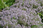 Thyme Thymol Essential Oil Source